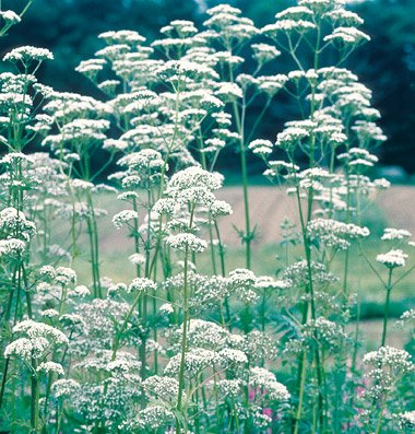 Herb Valerian Common D2734A (Pink White) 500 Seeds by David