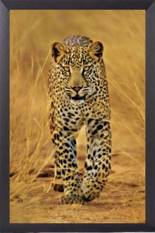 Big Cats Poster and Frame (Aluminium) - Cheetah (36 x 24 inches)
