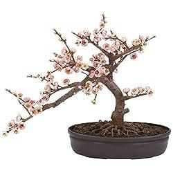 Cherry Blossom Bonsai Silk Tree Seeds by E Garden