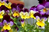 Flower Seeds - Heartsease (Johnny Jump Up)