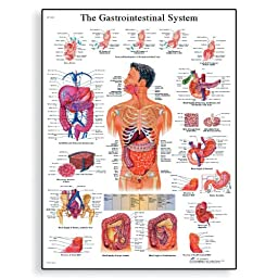 3B Scientific VR1422L Glossy Laminated Paper The Gastrointestinal System Anatomical Chart, Poster Size 20\