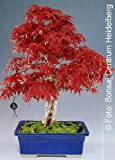 TROPICA - Red Japanese Maple (Acer palmatum atropurpureum) - 20 Seeds - Bonsai