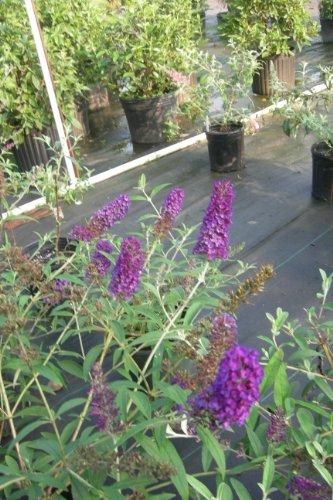Black Knight Butterfly Bush (1 to 2 Year Plants) 8