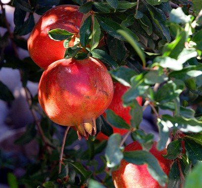 Dwarf Pomegranate Plant