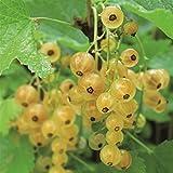 White Currant Werdavia - 1 shrub