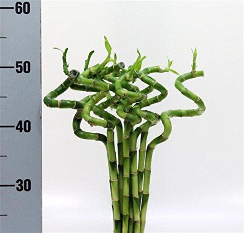 5-piece-lucky-bamboo-lucky-bamboo-dracaena-sanderiana-50-cm-de-long