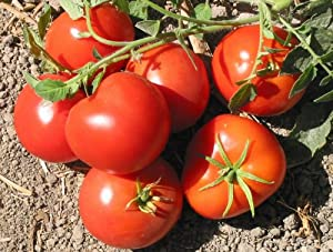 Amazon.com : San Francisco Fog Tomato Seeds 10 Seed Pack by