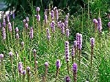 Seedville Liatris Spicata Blazing Star Gayfeather Flowers - 500 Seeds
