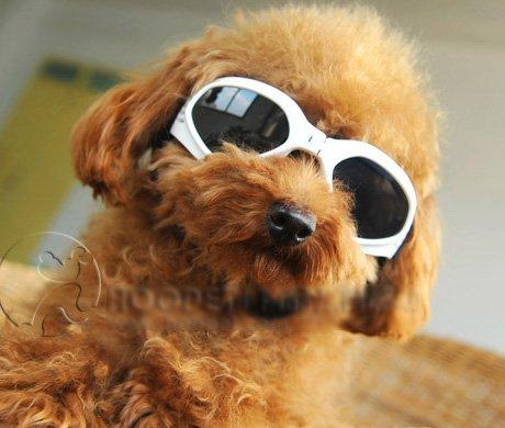 【おしゃれ♪】 小型犬 サングラス ゴーグル  トイプードル チワワ ヨークシャテリア ミニチュアダックス他 (ホワイト, S)