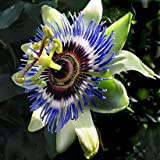 PASSIFLORA caerula Blue Passion flower 15 Plus Seeds