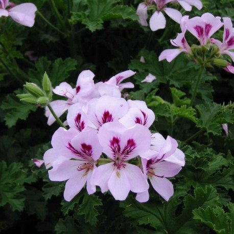 Géranium odorant - Pelargonium 'Citriodorum'