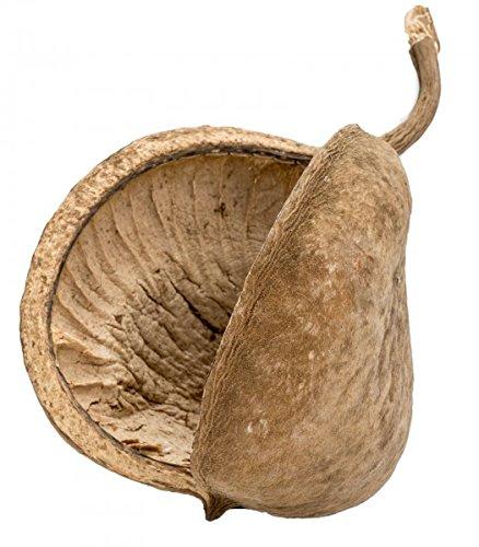 Budda Nuss - Buddha Nut Budha Nuss - Buddhanuts