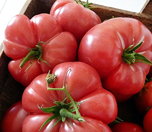 30+ ORGANICALLY GROWN GIANT Mortgage Lifter Tomato Seeds, Up to 2 LB, Heirloom NON-GMO, Indeterminate, Open-Pollinated, Sweet, Super Delicious, From USA (Tomato Seeds Mortgage Lifter compare prices)