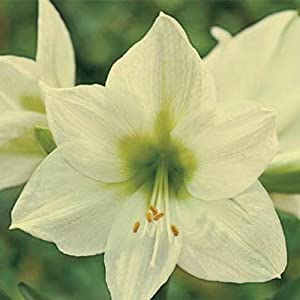 Moonlight Giant Dutch Amaryllis - 26/28 cm Bulb