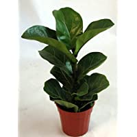 Fiddleleaf Fig Tree - Ficus - Great Indoor Tree - Easy - 4