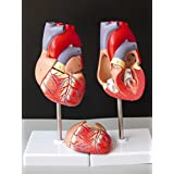 1:1 Human Heart Anatomy Model B Super Colour to Exceed Heart Specimens of Medical Circulation System of Internal Model