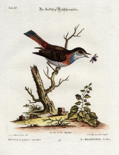 Antique Bird Print-BLUE THROAT REDSTART-Pl. LV-Edwards-Seligmann-1768