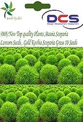 DCS (069) New Top quality Plants Seeds,Bassia Scoparia Red Lantern Seeds , Gold Kochia Scoparia Grass 10 Seeds