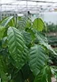 House Plant - Coffea arabica nana - Coffee Plant - 300 Seeds