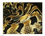 Timber Rattlesnake 10.00 x 8.00 Poster Print