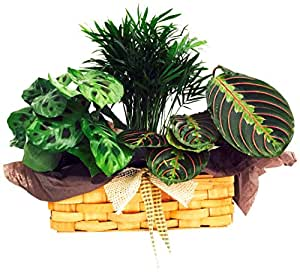 Hirts gardens biblical garden with palm red for Prayer palm plant