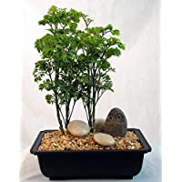 Ming Bonsai Tree with Small Riverstone Owl - Polyscias