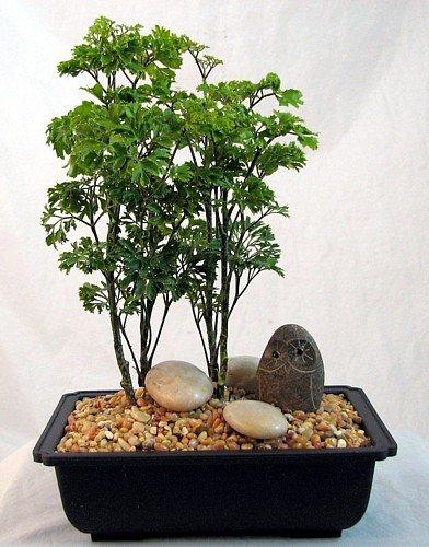 Ming Bonsai Tree with Small Riverstone Owl - Polyscias