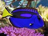 Blue Hippo Tang Live Dory Saltwater Fish Aquarium