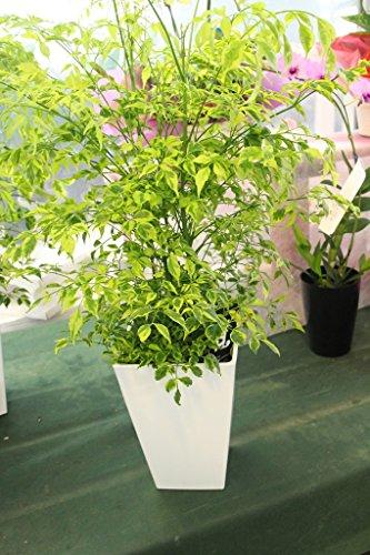 ラッピング代込 観葉植物 ステレオスペルマム レモンライム 5寸鉢 送料込