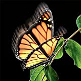 Elegant Aliform Monarch Moving Butterfly