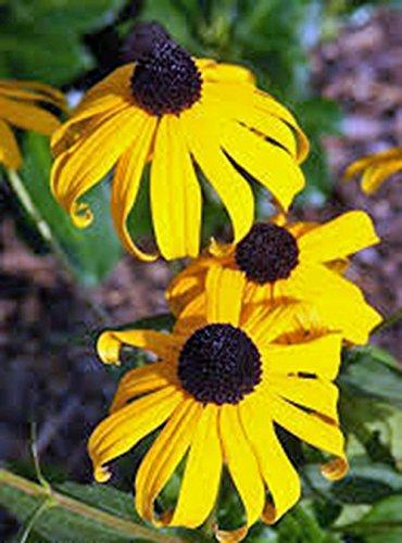 Black Eyed Susan 100+ Seeds Organic, Beautiful Vivid Bright Colorful Flowers