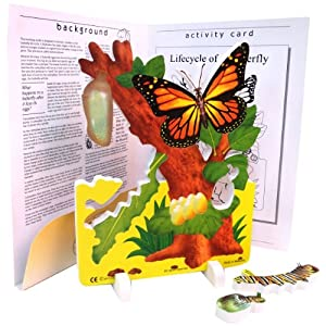 Life cycle of butterfly model - photo#5
