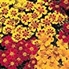 Seeds and Things Marigold French Sparky Mix 500 Seeds