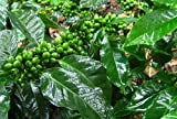 Exotic Plants Coffea robusta - Robusta coffee - 5 seeds