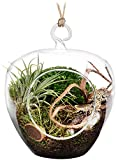 "5"" Hanging Terrarium / Glass Container for Succulent Air Plant Tillandsia - Set of 2 by Stenira Glass"