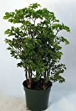 Ming Pre-Bonsai Tree Plant - Polyscias - Indoor - 4