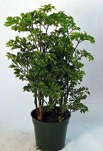 "Japanese Ming Pre-Bonsai Tree Plant - Polyscias - Indoor - 4"" Pot"