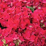 Hydrangea hortensia 'Riverane'' 19cm Pot Size