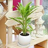 観葉植物(生花) ドラセナ サンデリアーナ 陶器鉢(鉢皿付) 高さ30cm~40cm
