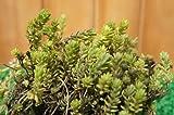 【育てやすい】セダム/モリムラマンネングサ 多肉植物(セダム)