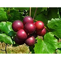 Noble Red Muscadine Grape Plant - Self Fertile Variety - 4