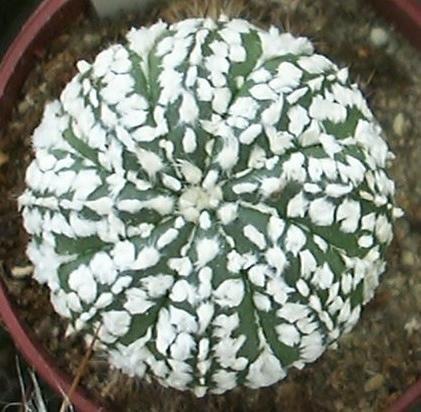 Astrophytum asterias Superkabuto seeds