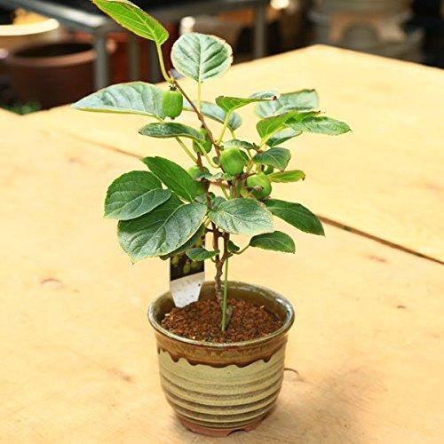 小品盆栽:ジャンボサルナシ(瀬戸焼鉢)*