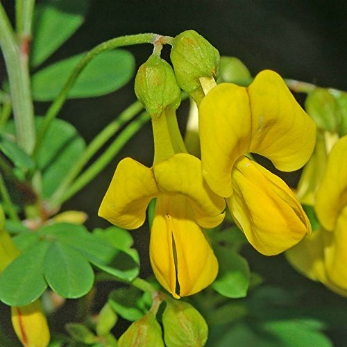 coronilla-emerus-coronille-des-jardins-caduque-faux-baguenaudier