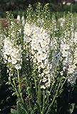 Verbascum 'Temptress White' / Hardy perennial / Seeds