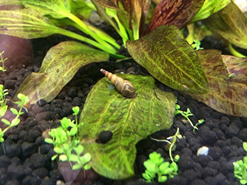 how to kill snails on java moss