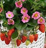 David's Garden Seeds Fruit Strawberry Gasana D3892STRA (Red) 25 Hybrid Seeds