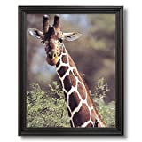 African Giraffe Bird Close Up Animal Wildlife Home Decor Wall Picture Black Framed Art Print