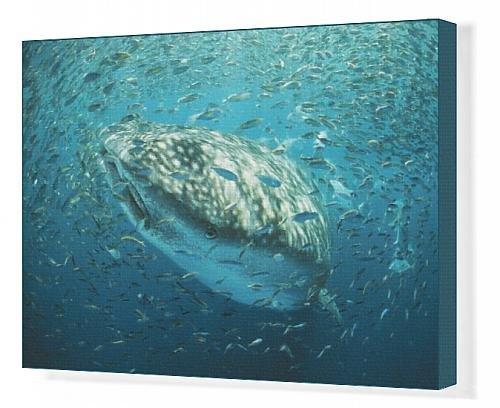 Canvas Print Of Whale Shark - In Bait Ball