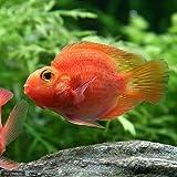 (熱帯魚)パープルパロットファイヤー・シクリッド(1匹) 本州・四国限定[生体]